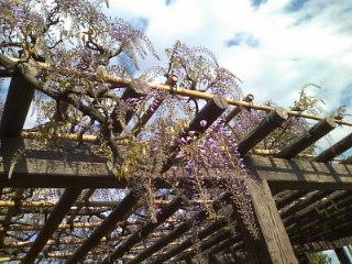 下水道と藤の花。